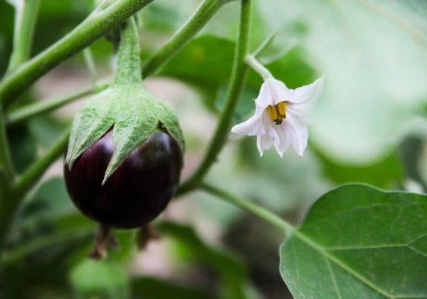 Bunga Terong Dengan Beberapa Manfaat Bagi Kesehatan Tubuh Manusia Dan Hewan