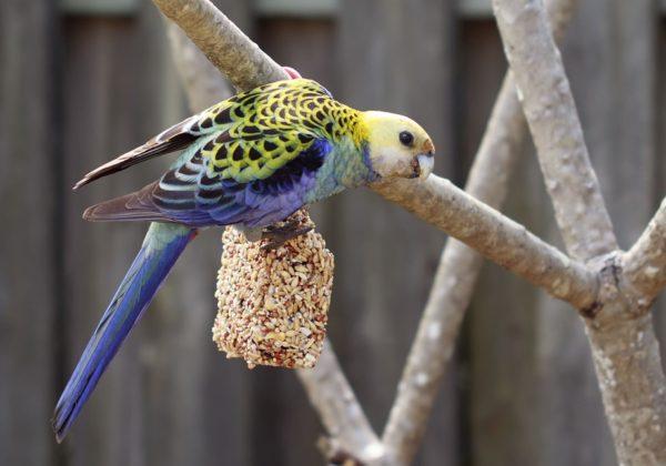 Mengenal Burung Lovebird dan Jenisnya