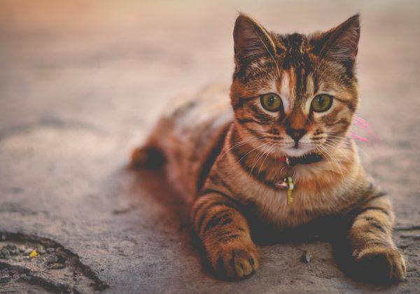 Apa Saja Vaksin Kucing yang dibutuhkan Kucing? Yuk, Cari Tahu.